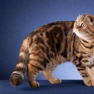 Klapouchá kočka